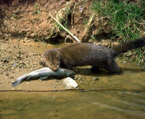 Норка с пойманной рыбой.