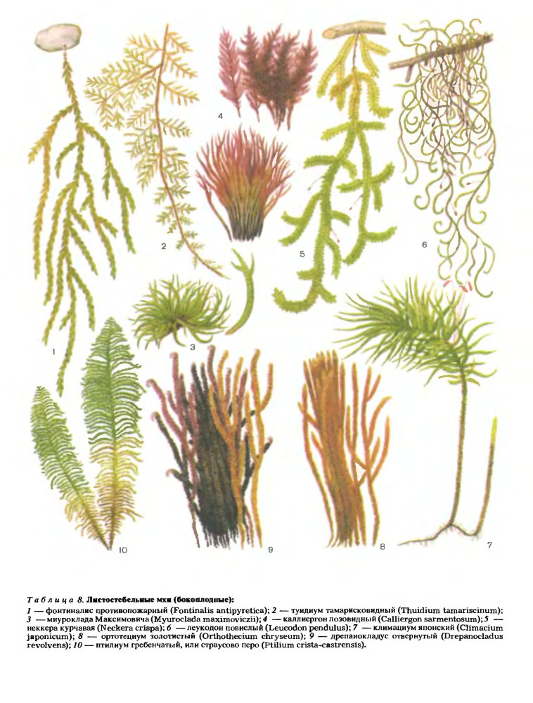 Картинки разнообразие мхов