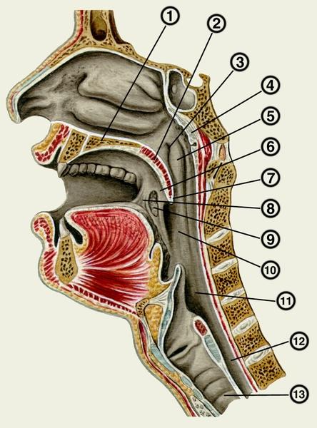 роджерсия обладает устройство человеческого горла картинка настоящего
