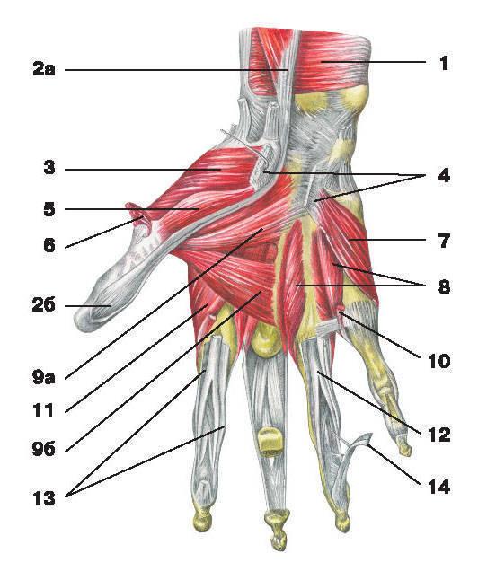 Рис.120. Мышцы кисти (ладонная поверхность):1 — квадратный пронатор; 2 — длинный сгибатель большого пальца кисти: а) брюшко, б) сухожилие;3 — мышца, противопоставляющая большой палец кисти; 4 — удерживатель сгибателей; 5 — короткий сгибатель большого пальца кисти;6 — короткая мышца, отводящая большой палец кисти; 7 — мышца, приводящая мизинец; 8 — ладонные межкостные мышцы;9 — мышца, приводящая большой палец кисти: а) косая головка, б) поперечная головка; 10 — червеобразная мышца;11 — дорсальная межкостная мышца; 12 — сухожилие поверхностного сгибателя пальцев; 13 — влагалище сухожилий пальцев кисти;14 — сухожилие глубокого сгибателя