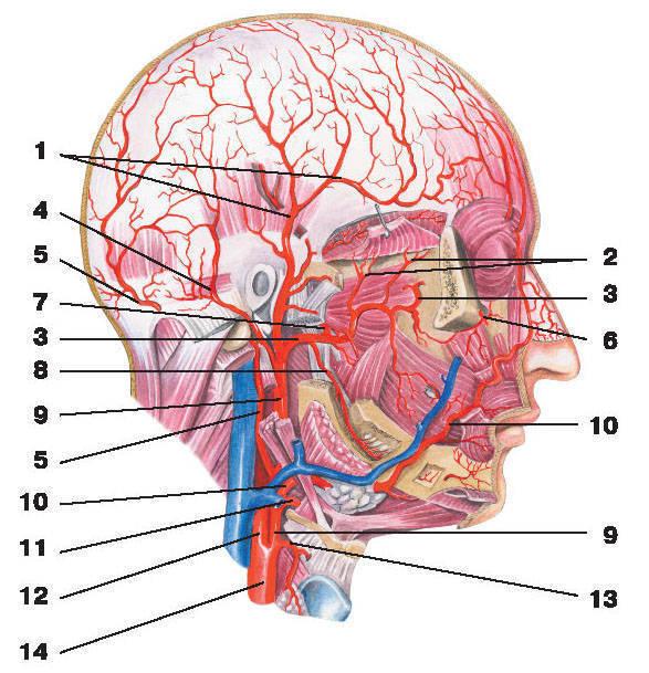 Рис.216. Артерии шеи, головы и лица:1 — поверхностная височная артерия и ее ветвь; 2 — глубокая височная артерия; 3 — верхнечелюстная артерия;4 — задняя ушная артерия; 5 — затылочная артерия; 6 — глазничная артерия; 7 — средняя менингеальная артерия;8 — нижняя альвеолярная артерия; 9 — наружная сонная артерия; 10 — лицевая артерия; 11 — язычная артерия;12 — внутренняя сонная артерия; 13 — верхняя щитовидная артерия; 14 — общая сонная артерия