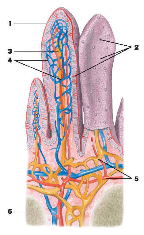 Рис.163. Ворсинки подвздошной кишки:1 — эпителий; 2 — блокадные клетки; 3 — центральный лимфатический капилляр; 4 — сеть кровеносных капилляров;5 — внутренний слой сети кровеносных и лимфатических сосудов; 6 — лимфатический фолликул