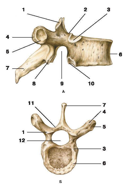 Рис.8. VIII грудной позвонокА — вид справа; Б — вид сверху:1 — верхний суставной отросток; 2 — верхняя позвоночная вырезка; 3 — верхняя реберная ямка;4 — поперечный отросток; 5 — реберная ямка поперечного отростка; 6 — тело позвонка;7 — остистый отросток; 8 — нижний суставной отросток; 9 — нижняя позвоночная вырезка;10 — нижняя реберная ямка; 11 — дуга позвонка; 12 — позвоночное отверстие