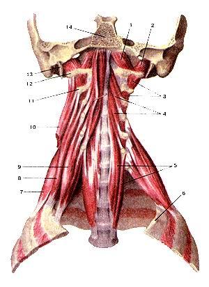 <br>Рис. 113. Глубокие мышцы шеи. Вид спереди. 1-передняя прямая мышца головы; 2-боковая<br>(латеральная) прямая мышца головы; 3-межпоперечные мышцы; 4-длинная мышца головы;<br>5-длиниая мышца шеи; 6-1-е ребро; 7-задняя лестничная мышца; 8-средняя лестничная<br>мышца; 8-передняя лестничная мышца; 10-мьшща, поднимающая лопатку (отрезана);<br>11-11 шейный позвонок; 12-поперечный отросток атланта; 13-шиловидный отросток;<br>14-основная (базилярная) часть затылочной кости.<br>Fig. 113. Глубокие мышцы шеи. Вид спереди. 1-m. rectus capitis anterior; 2-m.<br>rectus capitis lateralis; 3-mm. inter-transversarii anteriores cervicis; 4-m.<br>longus capitis; 5-m. longus colli; 6-costa 1; 7-m. scalenus posterior; 8-m.<br>scalenus medius; 9-m. scalenus anterior; 10-m. levator scapulae (отрезана);<br>11-axis; 12-processustransversusatlantis; 13-processus styloideus; 14-parsbasilaris<br>ossis occipitalis.<br>Fig. 113. Deep muscles of neck. Anterior aspect, l-rectus capitis anterior;<br>2-rectus capitis lateralis; 3-intertransversarii muscles; 4-longus capitis;<br>5-longus colli ; 6-first rib; 7-scalenus posterior; 8-scalenus medius; 9-scalenus<br>anterior; 10-levator scapulae (cut away); ll-axis; 12-transverse process of<br>atlas; 13-styloid process; 14-basal part of