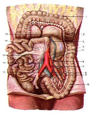 <br>Рис. 303. Нижняя брыжеечная артерия (arteria mesenterica inferior) и ее ветви.<br>Поперечная ободочная кишка и большой сальник<br>подняты кверху. Петли тонкой кишки повернуты вправо. 1-поперечная ободочная<br>кишка; 2-артериальный анастомоз (ри-оланова дуга); 3-нижняя брыжеечная вена;<br>4-нижняя брыжеечная артерия; 5-брюшная часть аорты; 6-правая ободочная артерия;<br>7-сигмовидная артерия; 8-верхняя прямокишечная артерия; 9-левая общая подвздошная<br>вена; 10-сигмовидная кишка; II-правая общая подвздошная артерия; 12-нижняя полая<br>вена; 13-петли тонкой кишки; 14-брыжейка тонкой кишки; 15-средняя ободочная<br>артерия.<br>Fig. 303. Нижняя брыжеечная артерия и ее ветви. Поперечная ободочная кишка и<br>большой сальник подняты<br>кверху. Петли тонкой кишки повернуты вправо. 1-colon transversum; 2-anastomosis<br>arteriosa (arcus Riolani); 3-a. mesenterica inferior; 5-pars abdominalis aortae;<br>6-a. colica sinistra; 7-a. sigmoidea; 8-a. rectalis superior; 9-v. iliaca communis;<br>10-colon sig-moideum; 11-a. iliaca communis dextra; 12-v. cava inferior; 13-ansae<br>intestinales; 14-mesentericum; 15-a. colica media.<br>Fig. 303. Inferior mesenteric artery and its branches. Transverse colon and<br>greater omentus are moved upwards. Loops of small intestine are<br>moved to the right.<br>1-transverse colon; 2-arterial anastomose (Riolan arch); 3-inferior mesenteric<br>artery; 4-abdominal part of aorta; 5-left colic artery; 6-sig-moid artery; 7-superior<br>rectal artery; 8-left common iliac vein; 9-sig-moid colon; 10-right common iliac<br>artery; 11-inferior vena cava; 12-loops of small intestine; 13-mesentery; 14-medial<br>colic artery.