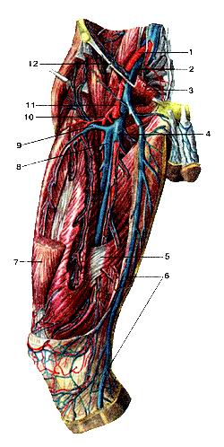 <br>Рис. 332. Глубокие вены бедра, правого. Вид спереди. Портняжная и прямая мышцы<br>бедра частично удалены. 1-наружная подвздошная артерия; 2-наружная подвздошная<br>вена; 3-гребснчатая мышца (отрезана и отвернута вверх); 4-бедрен-ная вена; 5-сухожильная<br>пластинка, натянутая между широкой мышцей бедра и большой приводящей мышцей;<br>6-большая подкожная вена ноги; 7-прямая мышца бедра (отрезана); 8-глубокая вена<br>бедра; 9-латеральная вена, окружающая бедренную кость; 10-глубокая артерия бедра;<br>11-бедренная артерия; 12-паховая связка.<br>Fig. 332. Глубокие вены бедра, правого. Вид спереди. Портняжная и прямая мышцы<br>бедра частично удалены, l-a. iliaca externa; 2-v. iliaca externa; 3-m. pectineus<br>(отрезана и от-вернуга вверх); 4-v. femoralis; 5-lamina tendinea между m. vastus<br>femoris et m. adductor magnus; 6-v. saphena magna; 7-m. rectus femoris; 8-v.<br>profunda lemons; 9-v. circumllexa femoris lateralis; 10-a. fcmoris profunda;<br>II-a. lemoris; 12-lig. inguinale.<br>Fig. 332. Deep veins of right thigh. Frontal aspect.<br>Rectus femoris and sartorius are partially removed. 1-external iliac artery;<br>2-external iliac vein; 3-pectineus (cut and unfolded upstairs); 4-femoral vein;<br>5-tendinous plate situated between vastus medialis and adductor major; 6-great<br>sapheneus vein; 7-rectus femuris; 8-deep vein of thigh; 9-lateral circumflex<br>femoralis vein; 10-deepanery of thigh; 11-femoral artery; 12-inguinal ligament.