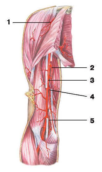Рис.220. Артерии плеча:1 — грудоакромиальная артерия; 2 — глубокая артерия плеча; 3 — плечевая артерия; 4 — верхняя локтевая коллатеральная артерия;5 — нижняя локтевая коллатеральная артерия