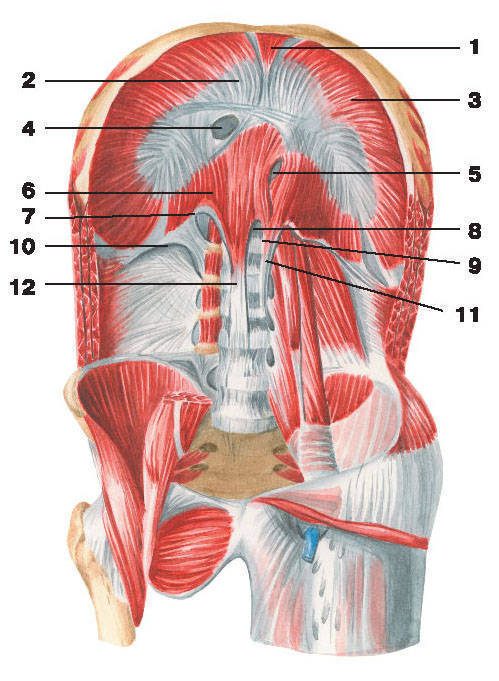 Рис.108. Диафрагма и мышцы задней стенки живота:1 — грудинная часть диафрагмы; 2 — сухожильный центр; 3 — реберная часть диафрагмы; 4 — отверстие полой вены;5 — пищеводное отверстие; 6 — поясничная часть диафрагмы; 7 — медиальная дуговая связка; 8 — аортальное отверстие;9 — срединная дуговая связка; 10 — латеральная дуговая связка; 11 — левая ножка диафрагмы; 12 — правая ножка диафрагмы