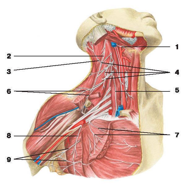 Рис.267. Нервы шеи и плечевого пояса:1 — подъязычный нерв; 2 — добавочный нерв; 3 — малый затылочный нерв; 4 — шейное сплетение; 5 — блуждающий нерв;6 — надключичные нервы; 7 — медиальный и латеральный грудные нервы; 8 — длинный грудной нерв; 9 — ветви межреберных нервов