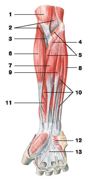 Рис.115. Мышцы предплечья (вид спереди):1 — двуглавая мышца плеча; 2 — плечевая мышца; 3 — сухожилие двуглавой мышцы плеча;4 — апоневроз двуглавой мышцы плеча; 5 — круглый пронатор; 6 — плечелучевая мышца;7 — лучевой сгибатель кисти; 8 — локтевой сгибатель кисти; 9 — длинная ладонная мышца;10 — поверхностный сгибатель пальцев; 11 — длинный сгибатель большого пальца кисти;12 — короткая ладонная мышца; 13 — ладонный апоневроз