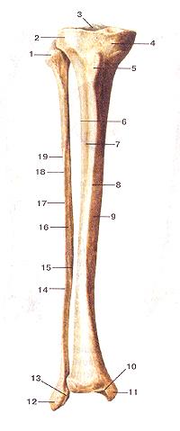 Большеберцовая и малоберцовая кости (tibia et fibula). Вид спереди. I-головка малобериовой кости; 2-латеральный мыщелок больше-берцовой кости; 3-межмышелковое возвышение; 4-медиальный мышелок; 5-бугристость большеберцовой кости; 6-межкостный край; 7-латеральная поверхность; 8-передний край; 9-медиальная поверхность; 10-суставная поверхность лодыжки; 11-медиальная лодыжка; 12-латеральная лодыжка (мачоберцовой кости); 13- суставная поверхность лодыжки (латеральной); 14-тело малоберцовой кости; 15-медиальный (межкостный) край; 16-медиальная поверхность, 17-передний край; 18-латеральный край; 19-латеральная поверхность.