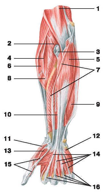 Рис.116. Мышцы предплечья (вид спереди):1 — плечевая мышца; 2 — супинатор; 3 — сухожилие двуглавой мышцы плеча; 4 — длинный лучевой разгибатель запястья;5 — глубокий сгибатель пальцев; 6 — плечелучевая мышца; 7 — длинный сгибатель большого пальца кисти;8 — круглый пронатор; 9 — локтевой сгибатель кисти; 10 — квадратный пронатор; 11 — мышца, противопоставляющая большой палец кисти;12 — мышца, приводящая мизинец; 13 — короткий сгибатель большого пальца кисти; 14 — сухожилия глубокого сгибателя пальцев;15 — сухожилие длинного сгибателя большого пальца кисти; 16 — сухожилия поверхностного сгибателя пальцев
