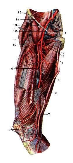 <br>Рис. 306. Бедренная артерия (arteria femoralis;» и ее ветви. Вид спереди. Прямая<br>мыиша бедра и портняжная мышцы удалены.<br>1-бедренная артерия; 2-медиальная артерия, огибающая бедрен ную кость; 3-гребенчатая<br>мышца; 4-длинная приводящая мыш на; 5-бедренная вена; 6-сухожилие (сухожильная<br>пластинка большой приводящей мышцы; 7-нисходяшая коленная артерия 8-коленная<br>суставная сеть; 9-прободаюшие артерии (1-я; 2-я 3-я); 10-латерапьная артерия,<br>огибающая бедренную кость 11-глубокая артерия бедра; 12-бедренная вена; 13-бедренньн<br>нерв; 14-паховая связка; 16-наружная подвздошная артерия.<br>Fig. 306. Бедренная артерия и ее ветви. Вид спереди. Прямая мышца бедра и портняжная<br>мышцы<br>удалены.<br>1 -a. femoralis; 2-a. circumtlexa femoris medialis; 3-m. pectineus; 4-rr adductor<br>longus; 5-v. femoralis; 6-tendo (lam. tendinea) m.adductori longi; 7-a. descendes<br>penu; 8-rete articularis genus; 9-aa. perforante (1, 2, 3); 10-a. circumflexa<br>femoris lateralis; 11-a. femoralis profund< 12-v. femoralis; 13-n. femoralis;<br>14-lig. inguinale; 15-a. iliaca externa<br>Fig. 306. Femoral artery and its branches. Anterior aspect.<br>Rectus abdominis and sartorius are removed. I-femoral artery; 2-medial circumflex<br>femoral artery; 3-pectineus; 4 adductor longus; 5-femoral vein; 6-tendon (tendinous<br>plate) of adduc tor magnus; 7-descencling genicular artery; 8-genicular anastomose!<br>9-perforating arteries (1,2, 3); 10-lateral circumflex femoral artery; 11 deep<br>femoral artery; 12-femoral vein; 13-femoral nerve; 14-inguin; ligament; 15-external<br>iiiac artery.