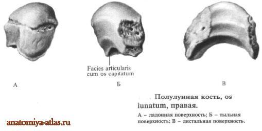 Полулунная кость