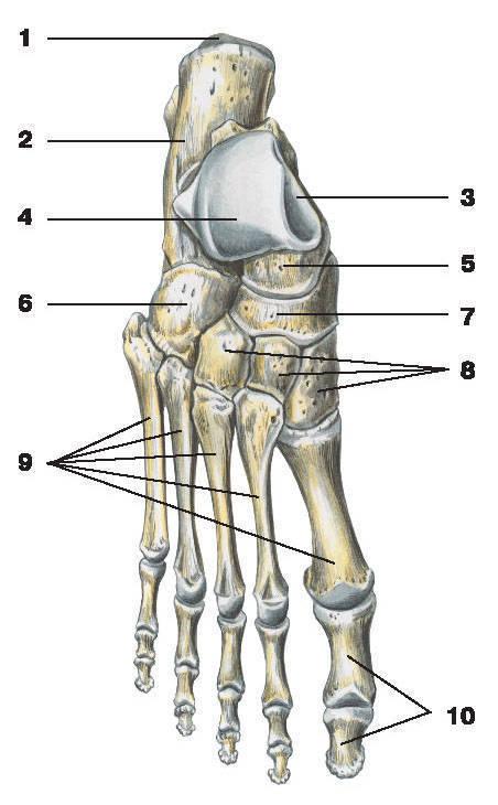 Рис.50. Кости стопы (тыльная поверхность):1 — бугорок пяточной кости; 2 — пяточная кость; 3 — таранная кость; 4 — блок таранной кости;5 — головка таранной кости; 6 — кубовидная кость; 7 — ладьевидная кость; 8 — клиновидные кости;9 — кости плюсны; 10 — кости пальцев стопы