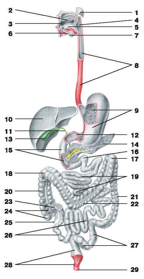 Рис.151. Пищеварительный аппарат:1 — околоушная железа; 2 — зубы; 3 — полость рта; 4 — глотка; 5 — язык; 6 — подъязычная железа;7 — поднижнечелюстная железа; 8 — пищевод; 9 — желудок; 10 — печень; 11 — общий желчный проток;12 — сжиматель (сфинктер) привратника; 13 — желчный пузырь; 14 — поджелудочная железа;15 — двенадцатиперстная кишка; 16 — крутой изгиб двенадцатиперстной кишки; 17 — левый изгиб ободочной кишки;18 — правый изгиб ободочной кишки; 19 — тощая кишка; 20 — восходящая ободочная кишка;21 — нисходящая ободочная кишка; 22 — поперечная ободочная кишка; 23 — илеоцекальный клапан;24 — слепая кишка; 25 — аппендикс; 26 — подвздошная кишка; 27 — сигмовидная ободочная кишка;28 — прямая кишка; 29 — наружный сжиматель заднего прохода