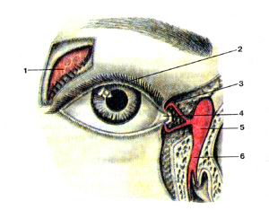 <br>Рис. 387. Слезный аппарат правого глаза (apparatus lacrimalis).<br>Вид спереди. Носо-слезный канал вскрыт.<br>I-слезная железа; 2-верхнее веко: 3-верхний слезный каналец; 4-слезное озеро;<br>5-слезный мешок; 6-носо-слезный проток.<br>Fig. 387. Слезный аппарат. Вид спереди. Носо-слезный канал вскрыт.<br>l-glandula lacrimalis; 2-palpcbra superior; 3-canaliculus lacrimalis superioris:<br>4-lacus lacrimalis; 5-saccus lacrimalis; 6-ductus naso-lacrimalis.<br>Fig. 387. Lacrimal apparatus of the right eyeball.<br>Anterior aspect. Nasociliary canal was dissected. 1-lacrimal gland; 2-upper<br>eyelid; 3-lacrimal canaliculus (superior); 4-lacrimal lake; 5-lacrimal sac;<br>6-nasolacrimal duct.