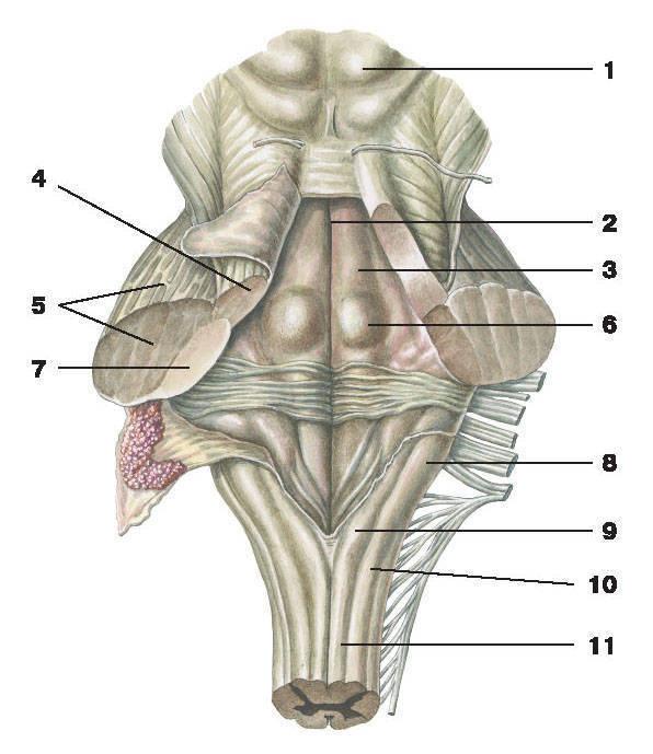 Рис.263. IV желудочек:1 — крыша среднего мозга; 2 — срединная борозда; 3 — медиальное возвышение; 4 — верхняя ножка мозжечка; 5 — средняя ножка мозжечка;6 — лицевой бугорок; 7 — нижняя ножка мозжечка; 8 — клиновидный бугорок продолговатого мозга; 9 — тонкий бугорок продолговатого мозга;10 — клиновидный пучок продолговатого мозга; 11 — тонкий пучок продолговатого мозга
