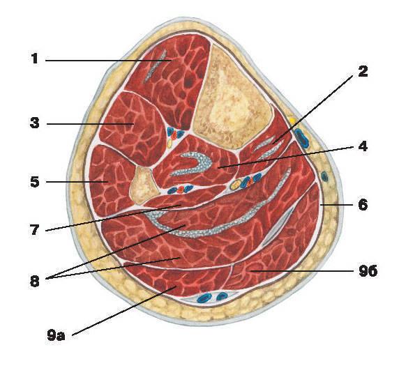 Рис.146. Мышцы и фасции голени (поперечный разрез):1 — передняя большеберцовая мышца; 2 — длинный сгибатель пальцев; 3 — длинный разгибатель пальцев;4 — задняя большеберцовая мышца; 5 — длинная малоберцовая мышца; 6 — фасция голени;7 — длинный сгибатель большого пальца; 8 — камбаловидная мышца;9 — икроножная мышца: а) латеральная головка, б) медиальная головка