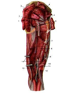 <br>Рис. 307. Артерии ягодичной области и задней стороны бедра, правого. Вид сзади.<br>Большая и средняя ягодичные мышцы<br>перерезаны и оттянуты в стороны. Длинная головка двуглавой<br>мышцы бедра и седалищный нерв частично удалены. 1-внутренняя половая артерия;<br>2-нижняя ягодичная артерия; 3-верхняя ягодичная артерия; 4-грушевидная мышца;<br>5-седалиш-ный нерв; 6-артерия, сопровождающая седалищный нерв; 7-пер-вая (верхняя)<br>прободающая артерия; 8-вторая прободающая артерия; 9-третья прободающая артерия;<br>10-нижнее отверстие приводящего канала; 11-подколенная вена; 12-большеберцовый<br>нерв; 13-подколенная артерии; 14-длинная головка двуглавой мышцы бедра.<br>Fig. 307. Артерии ягодичной области и задней стороны бедра,<br>правого. Вид сзади. Большая и средняя ягодичные мышцы перерезаны и оттянуты<br>в стороны. Длинная головка двуглавой<br>мышцы бедра и седалищный нерв частично удалены. 1-а. pudenda interna; 2-a. glutea<br>interior; 3-a. glutea superior; 4-m. piriformis; 5-n. ischiadicus; 6-a. comitans<br>n. ischiadici; 7-a. perforans prima; 8-a. perforans secunda; 9-a. perforans<br>tertia; 10-foramen canalis adductorius inferioris; ll-v. poplitea; 12-n. tibialis;<br>I3-a. tibialis; 14-m. biceps femoris (caput longum).<br>Fig. 307. Arteries of gluteus region and posterior region of femur.<br>Posterior view. Gluteus maximus and meduis muscles are cut and<br>unfolded. Long head of biceps femoral muscle and sciatic nerve are<br>partially removed.<br>1-internal pudendal artery; 2-inferior gluteal artery; 3-superior gluteal artery;<br>4-piriform muscle; 5-sciatic nerve; 6-artery to sciatic nerve; 7-1st (superior)<br>perforating artery; 8-2nd perforating artery; 9-3rd perforating artery; 10-inferior<br>opening of adductor canal; 11-popliteal vein; 12-tibial nerve; 13-tibial artery;<br>14-long head of femoral biceps muscle.