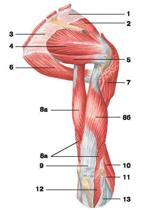 Рис.114. Мышцы плеча и плечевого пояса (вид сзади):1 — надостная фасция; 2 — надостная мышца; 3 — подостная фасция; 4 — подостная мышца;5 — малая круглая мышца; 6 — большая круглая мышца; 7 — дельтовидная мышца;8 — трехглавая мышца плеча: а) длинная головка, б) боковая головка, в) медиальная головка;9 — сухожилие трехглавой мышцы плеча; 10 — плечелучевая мышца;11 — длинный лучевой разгибатель запястья; 12 — локтевая мышца; 13 — фасция предплечья