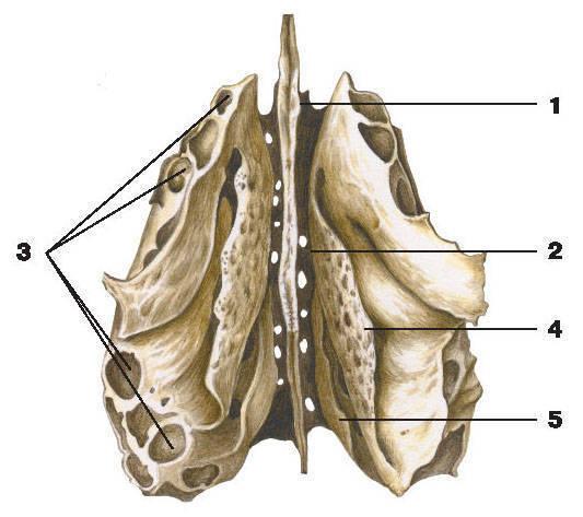 Рис.74. Решетчатая кость (вид снизу):1 — перпендикулярная пластинка; 2 — решетчатая пластинка; 3 — решетчатые ячейки;4 — средняя носовая раковина; 5 — верхняя носовая раковина