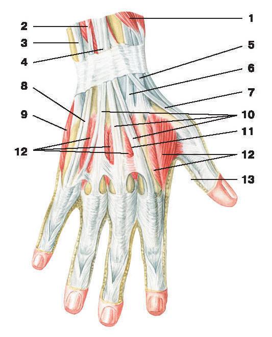 Рис.122. Мышцы кисти (тыльная поверхность):1 — короткий разгибатель большого пальца кисти; 2 — разгибатель мизинца; 3 — сухожилие локтевого разгибателя запястья;4 — разгибатель пальцев; 5 — сухожилие длинного лучевого разгибателя запястья; 6 — сухожилие короткого лучевого разгибателя запястья;7 — сухожилие длинного разгибателя большого пальца кисти; 8 — сухожилие разгибателя мизинца; 9 — мышца, отводящая мизинец;10 — сухожилия разгибателя пальцев; 11 — сухожилие разгибателя указательного пальца; 12 — дорсальные межкостные мышцы; 13 — сухожилие длинного сгибателя большого пальца кисти