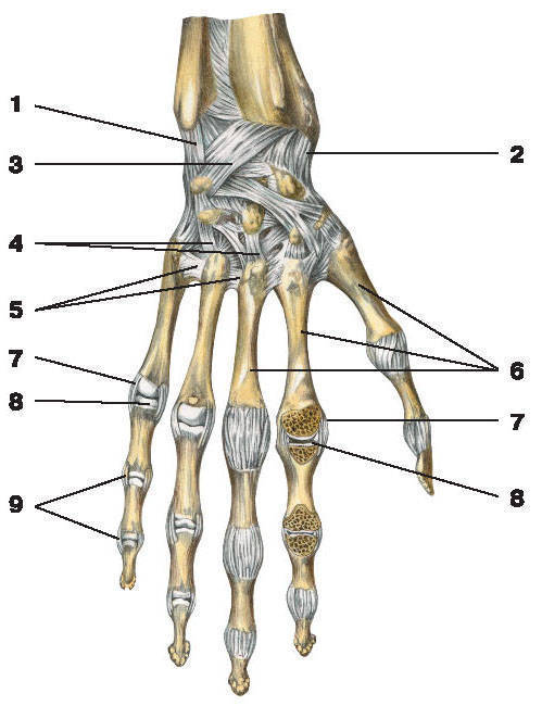 Рис.37. Связки лучезапястного сустава и соединений кисти (тыльная поверхность):1 — локтевая коллатеральная связка запястья; 2 — лучевая коллатеральная связка запястья;3 — лучезапястная связка тыльной стороны ладони; 4 — тыльные запястно-пястные связки;5 — тыльные пястные связки; 6 — пястные кости; 7 — коллатеральные связки; 8 — пястно-фаланговые суставы;9 — боковые связки межфалангового сустава