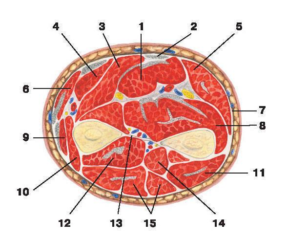 Рис.125. Мышцы и фасции предплечья (поперечный разрез):1 — поверхностный сгибатель пальцев; 2 — длинная ладонная мышца; 3 — лучевой сгибатель кисти;4 — круглый пронатор; 5 — локтевой сгибатель кисти; 6 — плечелучевая мышца; 7 — фасция предплечья;8 — глубокий сгибатель пальцев; 9 — длинный лучевой разгибатель запястья; 10 — короткий лучевой разгибатель запястья;11 — локтевой разгибатель запястья; 12 — длинный разгибатель большого пальца кисти; разгибатель указательного пальца;длинная мышца, отводящая большой палец кисти; 13 — межкостная мембрана; 14 — супинатор; 15 — разгибатель пальцев