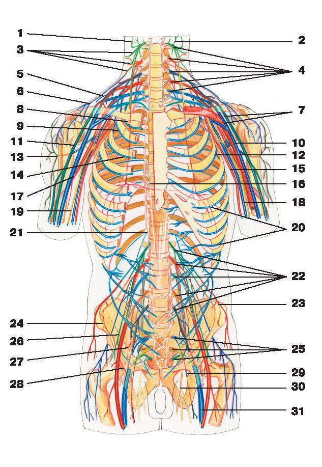 Рис.268. Схема спинно-мозговых нервов:1 — большой ушной нерв; 2 — малый затылочный нерв; 3 — надключичные нервы; 4 — нервы шейного сплетения; 5 — подключичный нерв;6 — надлопаточный нерв; 7 — плечевое сплетение; 8 — диафрагмальный нерв; 9 — подлопаточный нерв; 10 — срединный нерв;11 — мышечно-кожный нерв; 12 — грудоспинной нерв; 13 — подкрыльцовый нерв; 14 — длинный грудной нерв;15 — медиальный кожный нерв плеча; 16 — большой внутренностный нерв; 17 — лучевой нерв; 18 — локтевой нерв;19 — медиальный кожный нерв предплечья; 20 — межреберные нервы; 21 — малый внутренностный нерв;22 — нервы поясничного сплетения; 23 — подвздошно-подчревный нерв; 24 — подвздошно-паховый нерв; 25 — нервы крестцового сплетения;26 — полово-бедренный нерв; 27 — верхний ягодичный нерв; 28 — нижний ягодичный нерв; 29 — задний кожный нерв бедра;30 — запирательный нерв; 31 — седалищный нерв