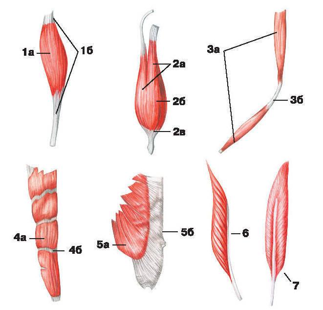 Рис.91. Формы мышц:1 — веретенообразная мышца: брюшко, б) сухожилие; 2 — двуглавая мышца: а) головка, б) брюшко, в) хвост;3 — двубрюшная мышца: а) брюшко, б) сухожильная дуга; 4 — многобрюшная мышца: а) брюшко, б) сухожильная перемычка;5 — широкая мышца: а) брюшко, б) апоневроз; 6 — одноперистая мышца; 7 — двуперистая мышца