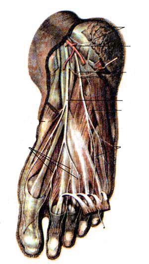 Нервы подошвенной стороны стопы, правой