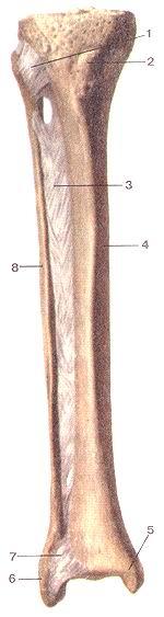 <br>Рис. 94. Соединения костей голени,<br>правой. Вид спереди. I-передняя связка головки малоберцовой кости (межберцовый<br>сустав); 2-буг-ристостьболынеберцовой кости; 3-мсж-костная перепонка голени;<br>4-тело боль-шеберцовой кости; 5-медиальная лодыжка; 6-латеральная лодыжка; 7-пе-редняя<br>межберцовая связка (межбсрцо-вый синдесмоз, сустав); 8-тело малобер-цовой кости.<br>Fig. 94. Соединения костей голени,<br>правой. Вид спереди. 1 -ligamentum capitis fibulae anterius (artic-ulatio tibiofibularis);<br>2-tubcrositas tibiae; 3-membrana interossca cruris; 4-corpus tibiae; 5-malleolus<br>medialis; 6-mallcolus later-alis; 7-ligamentuni tibiofibulare anterius (syndesmosis<br>tibiofibularis, articulutio); 8-corpus fibiilae.<br>Fig. 94. Joints of right leg. Anterior aspect.<br>1-anterior ligament of fibular head (tibiofibular joint); 2-tibial tuberosity;<br>3-interosseous membrane of leg; 4-body of tibia; 5-medial mallcolus; 6-lateral<br>malleo-lus; 7-antcrior tibiofibular ligament (syndesmosis tibiofibularis joint);<br>8-body of fibula.