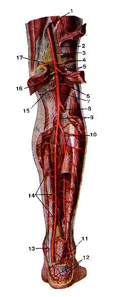 <br>Рис. 308. Подколенная артерия (artena poplitea) и задняя<br>большеберцовая артерия (апепа tibialis posterior) и их ветви.<br>Вид сзади. Икроножная, камбаловидная мышцы, мышца,<br>сгибающая большой палец стоны отрезаны и удалены. 1-сухожильная щель (большой<br>приводящей мышцы); 2-подко-ленная ямка; 3-подколенная артерия; 4-латеральная<br>верхняя коленная артерии; 5-мышечные ветви к головкам икроножной мышцы; 6-латеральная<br>нижняя коленная артерия; 7-подколен-ная мышца; 8-передняя большеберцовая артерия;<br>9-задняя большеберцовая артерия; iU-малоберцовая артерия; 11-латеральная лодыжковая<br>ветвь; 12-пяточная сеть; 13-медиальная лодыжковая ветвь; 14-мышечные ветви;<br>15-медиальная нижняя коленная артерия; 16-средняя коленная артерия; 17-медиальная<br>верхняя коленная артерия; 17-медиальная верхняя коленная артерия.<br>Fig. 308. Подколенная и задняя большеберцовая артерии, и их ветви. Вид сзади.<br>Икроножная, камбаловидная мышцы, мышца,<br>сгибающая большой палец стопы огрезаны и удалены. l-hiatus lendineus (m. adductor<br>magnusj; 2-tossa poplitea; 3-a. poplitea; 4-a. superior lateralis genus; 5-r.<br>muscularis; 6-a. interior lat-eralis genus; 7-m. popliteus; 8-a. tibialis anterior;<br>9-a. tibialis posterior; 10-a. tibularis; ll-г. malleolaris lateralis; 12-rete<br>calcaneum; 13-r. malleolaris medialis; 14-rr. rnuscuiares; 15-a. interior medialis<br>genus; 16-a. media genus; 17-a. superior medialis genus.<br>Fig. 308. Popliteal artery and posterior tibial artery and their branches. View<br>from above. Gastrocnemius, soleus, flexor hallucis longus are<br>removed.<br>1-adductor hiatus; 2-poplileal tbssa; 3-popliteal artery; 4-superior lateral<br>genicuiararteiy; 5-muscular branches tofftttcooiemius muscle; 6-intcri-or lateral<br>arteiy of knee; 7-popliteus; S-antenor tibial anery; 9-posterior tibial artery;<br>10-tibular artery; 11-lateral malleolar branch; 12-calcaneal anastomosis; 13-medial<br>malleolar branch; 14-muscular branches; 15-inferi.or Iтюdial g
