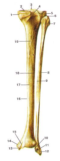 Большеберцовая и малоберцовая кости (tibia et fibula). Вид сзади. 1-медиальный мыщелок; 2-верхияя суставная поверхность; 3-межмыщелковое возвышение; 4-заднее межмыщелковое поле; 5-латеральный мыщелок; 6-верхушка головки малобериовой кости; 7-головка малоберцовой кости; 8-тело малоберцовой кости; 9-медиальный (межкостный) край; 10-суставная поверхность лодыжки (малоберцовой кости); 11-ямка латеральной лодыжки; 12-борозда латеральной лодыжки; 13-суставная поверхность медиальной лодыжки; 14-медиальная лодыжка; 15-лодыжковая борозда (борозда медиальной лодыжки); 16-медиальный край больше-берцовой кости; 17-тело большеберцовой кости; 18-латеральный (межкостный) край большеберцовой кости; 19-линия камбаловидной мышцы.