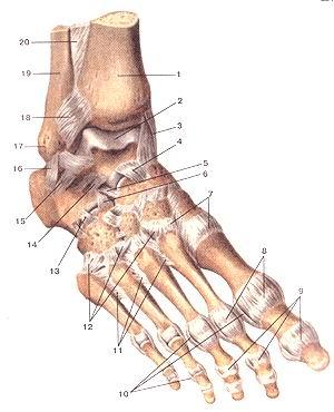 <br>Рис. 95. Связки и суставы стопы, правой. Вид сверху и справа. 1-болыиеберцовая<br>кость; 2-блок таранной кости; 3-медиальная (дельтовидная) связка; 4-тыльная<br>таранно-ладьевидная связка; 5-пяточно-ладьевидная связка; 6-пяточно-кубовидная<br>связка (5 и 6-раздвоенная связка); 7-предплюсне-плюсневые суставы; 8-плюсие-фаланювые<br>суставы; 9-межфаданговые суставы; 10-коллатеральные связки; 11-межкостные плюсневые<br>связки; 12-тыльные прсдплюсне-плюсневые связки; 13-тыльная пятом-но-кубоиидная<br>связка; 14-межкостная таранно-пяточная связка; 15-латеральная таранно-пяточная<br>связка; 16-пяточно-малобер-цовая связка; 17-латеральпая лодыжка; 18-псрсдияя<br>межбсрцо-вая связка (межберцовый синдесмоз, сустав); 19-малоберцовая кость;<br>20-межкостная перепонка голени.<br>Fig. 95. Связки и суставы стопы, правой. Вид сверху и справа. 1-tibia; 2-trochlea<br>tali; 3-ligamentum collaterale mediale (del-toideum); 4-ligamentum talonaviculare;<br>5-ligamentum calcaneonavic-ulare; 6-ligamentum calcaneocuboidcum (5 и 6-lig.<br>bifurcatum); 7-articulationes tarsometatarseae; 8-articulationes melatarsophalangeae;<br>9-articulationes inteфhalangeae; 10-ligamenta collateralia; 11-liga-menta metatarsalia<br>interossea; 12-ligamenta tarsometatarsalia dorsalia; 13-ligamentum calcaneocuboidcum<br>dorsale; 14-ligainentum talocal-caneum laterale; 16-ligamentum calcaneofibulare.<br>Fig. 95. Ligaments and joints of right foot. Superior and right aspects. 1-tibia;<br>2-throchlea of talus; 3-medial (deltoid) ligament; 4-talonavic-ular ligament;<br>5-calcaneonavicular ligament; 6-calcaneocuboid ligament (5 and 6-bifurcat ligament);<br>7-tarsometatarsal joints; 8-metatar-sophalangeal joints; 9-inteфhalangeal joints;<br>10-collateral ligaments; ll-metatrsal interosseus ligaments; 12-dorsal tarsometatarsal<br>ligaments; 13-dorsal calcaneocuboid ligament; 14-talocalcaneal interosseous<br>ligament; 15- talocalcaneal lateral ligament; 16-caleane-otlbular ligament.<br>6. Карманный auiiK анатом, чел