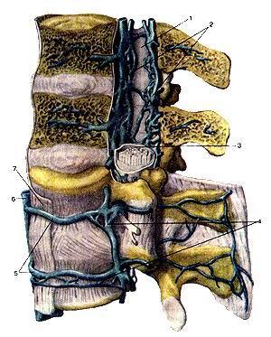 <br>Рис. 314. Наружные и внутренние позвоночные сплетения (plexus venosus venebraiis<br>extemus et plexus venosus venebraiis interims). Вид слева. Позвоночный канал<br>частично вскрыт. I-позвоночный канал; 2-внутренние позвоночные венозные сплетения;<br>3-твердая оболочка спинною мозга; 4-наружное позвоночное венозное сплетение;<br>5-поясничные вены; 6-нижняя полая вена; 7-передния продольная связна (позвоночника).<br>Fig. 314. Наружные и внутренние позвоночные сплетения.<br>Вид слева. Позвоночный канал частично вскрыт. 1-canalis venebraiis; 2-plexus<br>venosus vertebralis internus; 3-araeh-noidea spinalis; 4-plexus venosus vertebralis<br>externus; 5-vv. lumbales; 6-v.cava interior; 7-lig. longitudinale anteriores.<br>Fig. 314. txternal and iniernal vertebral plexuses. View from the left. fertebral<br>canal is partially opened.<br>I-vertebral canal; 2-internaI vertebral venosous plexuses; 3-dura mater of spinal<br>coid; 4-extei nal vertebral venosous plexus; 5-lumbar veins; 6-inferior vena<br>cava; 7-anterior longitudinal ligament.