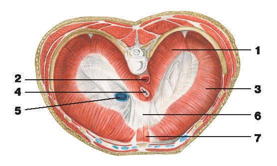 Рис.107. Диафрагма (вид сверху):1 — поясничная часть диафрагмы; 2 — аортальное отверстие; 3 — реберная часть диафрагмы; 4 — пищеводное отверстие;5 — отверстие полой вены; 6 — сухожильный центр; 7 — грудинная часть диафрагмы