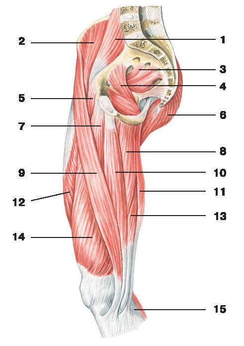 Рис.132. Мышцы таза и-бедра (вид сбоку):1 — большая поясничная мышца; 2 — подвздошная мышца; 3 — грушевидная мышца; 4 — внутренняя запирающая мышца;5 — гребешковая мышца; 6 — большая ягодичная мышца; 7 — длинная приводящая мышца; 8 — большая приводящая мышца;9 — портняжная мышца; 10 — тонкая мышца; 11 — полусухожильная мышца; 12 — самая длинная прямая мышца бедра;13 — полуперепончатая мышца; 14 — медиальная широкая мышца бедра; 15 — икроножная мышца