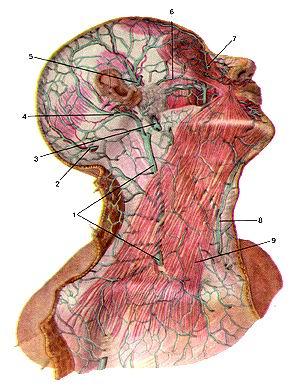 <br>Рис. 315. Поверхностные пены головы и шеи. Вид справа. 1-наружная яремная вена;<br>2-затылочная вена; 3-занижнечслюстная вена; 4-задняя ушная вена; 5-поверхностная<br>височная вена; 6-поперечная вена лица; 7-угловая вена; 8-передняя яремная вена;<br>9-подкожная мышца шеи.<br>Fig. 315. Поверхностные вены головы и шеи. Вид справа. I -v. jugularis externa;<br>2-v. occipitalis; 3-v. relromandibularis; 4-v. auric-ularis posterior; 5-v. temporalis<br>superlicialis; 6-v. transvcrsa faciei; 7-v. angularis; 8-v. jugjlaris anterior;<br>9-plalysma.<br>Fig. 315. Superficial veins of head and neck. Right aspect. 1-external jugular<br>vein; 2-occipital vein: 3-retromandibular vein; 4-postcrior auricular vein; 5-superficial<br>temporal vein; 6-transverse facial vein; 7-angular vein; 8-anterior jugular vein;<br>9-platysma.