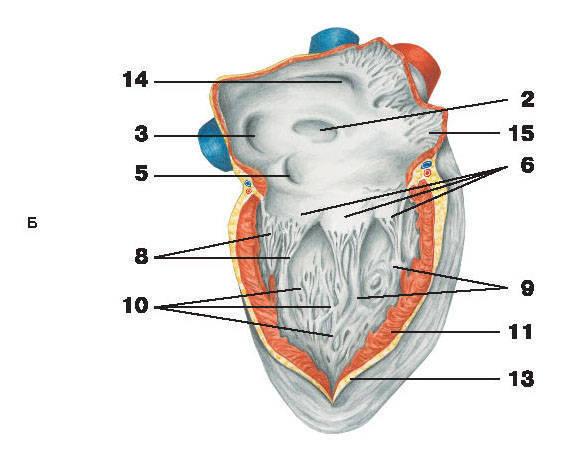 Рис.214. СердцеБ — вид справа:1 — отверстия легочных вен; 2 — овальное отверстие; 3 — отверстие нижней полой вены; 4 — продольная межпредсердная перегородка;5 — венечная пазуха; 6 — трехстворчатый клапан; 7 — митральный клапан; 8 — сухожильные нити;9 — сосочковые мышцы; 10 — мясистые перекладины; 11 — миокард; 12 — эндокард; 13 — эпикард;14 — отверстие верхней полой вены; 15 — гребенчатые мышцы; 16 — полость желудочка