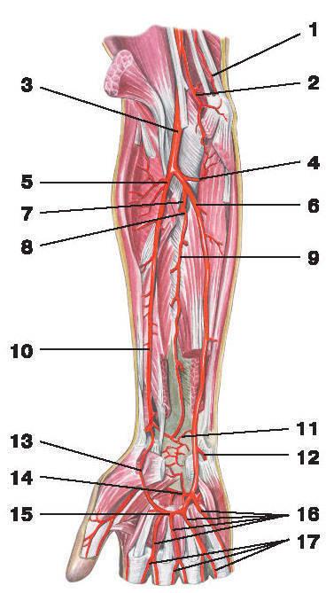 Рис.221. Артерии предплечья и кисти (ладонная поверхность):1 — верхняя локтевая коллатеральная артерия; 2 — нижняя локтевая коллатеральная артерия; 3 — плечевая артерия;4 — локтевая возвратная артерия; 5 — лучевая возвратная артерия; 6 — локтевая артерия; 7 — общая межкостная артерия;8 — задняя межкостная артерия; 9 — передняя межкостная артерия; 10 — лучевая артерия; 11 — ладонная запястная ветвь;12 — глубокая ладонная ветвь; 13 — поверхностная ладонная ветвь; 14 — глубокая ладонная дуга; 15 — поверхностная ладонная дуга;16 — общие ладонные пальцевые артерии; 17 — собственные ладонные пальцевые артерии