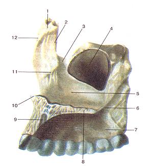 Верхняя челюсть (верхнечелюстная кость—maxilla), правая. Вид с внутренней стороны. 1-лобный отросток; 2-слезный край; 3-слезная борозда; 4-верх-нечелюстная (Гайморова) пазуха; 5-носовая поверхность тела верхней челюсти; 6-большая небная борозда; 7-альвеолярный отросток; 8-небный отросток; 9-резцовый канал; 10-передная носовая ость; 11-раковинный гребень; 12-решетчатый гребень.