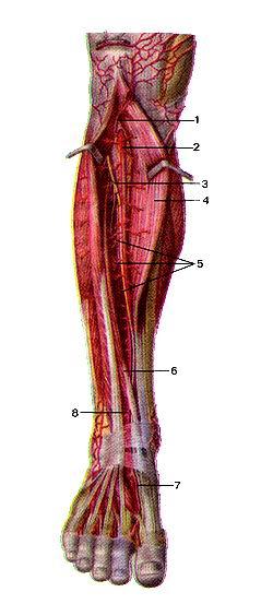 <br>Рис. 309. Передняя большеберцовая артерия (arteria tibialis anterior) и ее<br>ветви. Вид спереди. Передняя большеберцовая мышца отвернута в медиальную сторону,<br>длинная мышца, разгибающая<br>пальцы стопы-в латеральную сторону.<br>I-передняя большеберцовая возвратная артерия; 2-передняя большеберцовая артерия;<br>3-глубокий малоберцовый нерв; 4-пе-редняя большеберцовая мышца; 5-мышечные ветви;<br>6-длинный разгибатель большого пальца стопы; 7-тыльная артерия стопы; 8-латеральная<br>передняя лодыжковая артерия.<br>Fig. 309. Передняя большеберцовая артерия и ее ветви. Вид<br>спереди. Передняя большеберцовая мышца отвернута в медиальную сторону, длинная<br>мышца, разгибающая пальцы<br>стопы—в латеральную сторону.<br>1-а. reccufens tibialis anterior; 2-я. tibialis anterior; 3-n. fibularis pro-fundus;<br>4-m. tibialis anterior; 5-rr. musculares; 6-m. extensor hallucis longus; 7-a.<br>dorsalis pedis; 8-a. malleolaris anterior lateralis.<br>Fig. 309. Anterior tibial artery and its branches. Anterior aspect. Anterior<br>tibial muscle is unfolded to the medial side. Extensor digito-<br>rum longus is unfolded to the lateral side.<br>1-anterior tibial recurrent artery; 2-anterior tibial artery; 3-deep fibular<br>nerve; 4-anterior tibial muscle; 5-muscular branches; 6-extensor hallucis longus;<br>7-dorsal artery of foot; 8-anterior lateral malleolar artery.