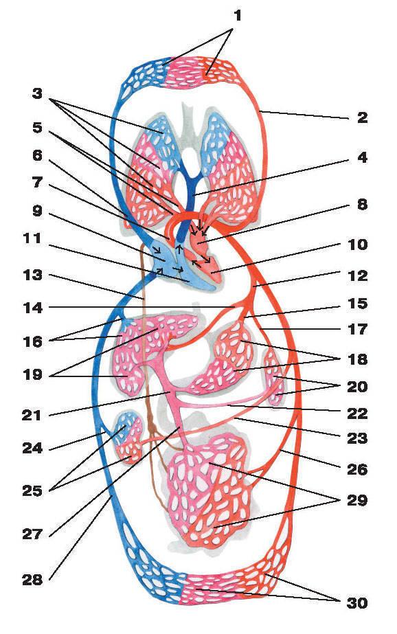 Рис.215. Схема большого и малого кругов кровообращения:1 — капилляры головы, верхних отделов туловища и верхних конечностей; 2 — левая общая сонная артерия; 3 — капилляры легких;4 — легочный ствол; 5 — легочные вены; 6 — верхняя полая вена; 7 — аорта; 8 — левое предсердие; 9 — правое предсердие;10 — левый желудочек; 11 — правый желудочек; 12 — чревный ствол; 13 — лимфатический грудной проток;14 — общая печеночная артерия; 15 — левая желудочная артерия; 16 — печеночные вены; 17 — селезеночная артерия; 18 — капилляры желудка;19 — капилляры печени; 20 — капилляры селезенки; 21 — воротная вена; 22 — селезеночная вена; 23 — почечная артерия;24 — почечная вена; 25 — капилляры почки; 26 — брыжеечная артерия; 27 — брыжеечная вена; 28 — нижняя полая вена;29 — капилляры кишечника; 30 — капилляры нижних отделов туловища и нижних конечностей