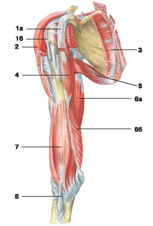 Рис.112. Мышцы плеча и плечевого пояса (вид спереди):1 — двуглавая мышца плеча: а) короткая головка, б) длинная головка; 2 — дельтовидная мышца;3 — подлопаточная мышца; 4 — клювовидно-плечевая мышца; 5 — большая круглая мышца;6 — трехглавая мышца плеча: а) длинная головка, б) медиальная головка; 7 — плечевая мышца;8 — сухожилие двуглавой мышцы плеча