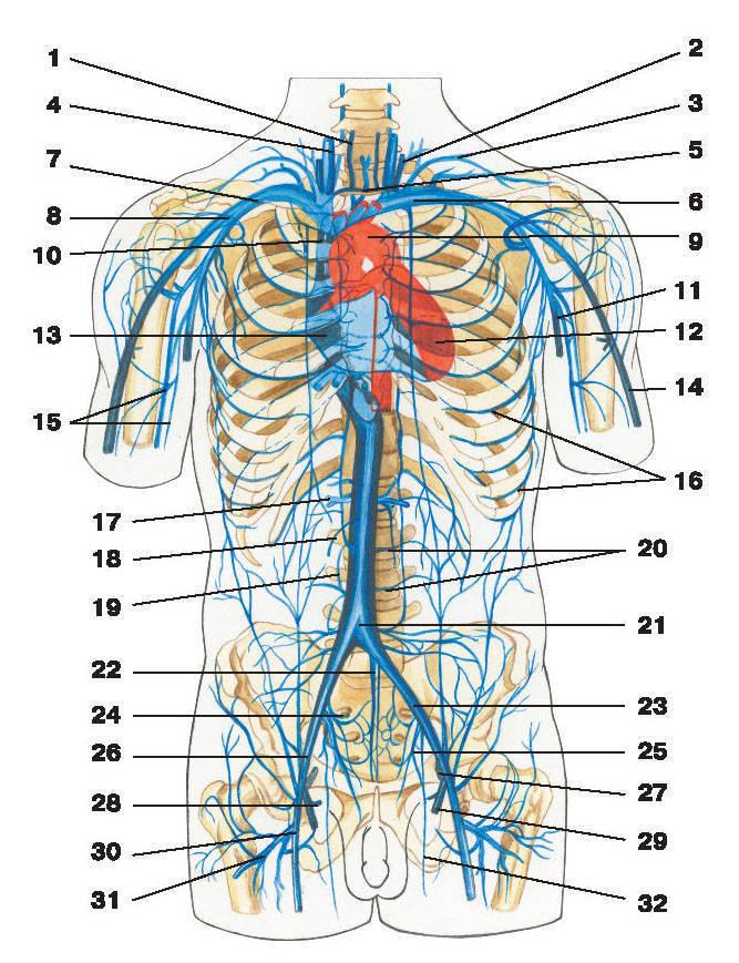 Рис.233. Схема системы верхней и нижней полых вен:1 — передняя яремная вена; 2 — наружная яремная вена; 3 — надлопаточная вена; 4 — внутренняя яремная вена; 5 — яремная венозная дуга;6 — плечеголовная вена; 7 — подключичная вена; 8 — подмышечная вена; 9 — дуга аорты; 10 — верхняя полая вена; 11 — царская вена;12 — левый желудочек; 13 — правый желудочек; 14 — головная вена руки; 15 — плечевая вена; 16 — задние межреберные вены;17 — почечная вена; 18 — яичковые вены; 19 — правая восходящая поясничная вена; 20 — поясничные вены; 21 — нижняя полая вена;22 — срединная крестцовая вена; 23 — общая подвздошная вена; 24 — латеральная крестцовая вена; 25 — внутренняя подвздошная вена;26 — наружная подвздошная вена; 27 — поверхностная надчревная вена; 28 — наружная половая вена; 29 — большая скрытая вена;30 — бедренная вена; 31 — глубокая вена бедра; 32 — запирательная вена