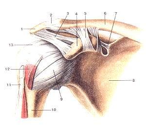 Рис. 79. Акромиально-ключичный суетав<br>(articulatio acromio-clavicularis) и плечевой суставы<br>(articulatio humeri). Вид спереди.<br>1-акромион; 2-акромиалыю-ключичный сустав (акромиально-ключичная связка); 3-клювовидно-акромиальная<br>связка; 4-клю-вовидный отросток; 5-клювовидно-ключичная связка; 6-ключи-ца;<br>7-верхняя поперечная связка лопатки; 8-лопатка; 9-капсула плечевого сустава;<br>10-плечевая кость; 11-сухожилие длинной головки двуглавой мышцы плеча; 12-подлопаточная<br>мышца; 13-клювовидно-плечевая связка.<br>Fig. 79. Акромиально-ключичный и плечевой суставы.<br>Вид спереди.<br>1-acromion; 2-articulatio acromioclavicularis (ligamentum acromio-claviculare);<br>3-ligamentum coracoacromiale; 4-processus coracoideus; 5-ligamentum coracoclaviculare;<br>6-clavicula; 7-ligamentum transver-sum scapulae (superius); 8-scapula; 9-capsula<br>articulationis humeri; 10-humerus; 11-tendo m. bicipitis brachii (caput longum);<br>12-m.sub-scapularis; 13-ligamentum coracohumerale.<br>Fig. 79. Acromioclavicular and shoulder joints. Anterior aspect, l-acromion;<br>2-acromioclavicular joint (acromioclavicular ligament); 3-coraco-acromial ligament;<br>4-coracoid process; 5-coracoclavicular ligament; 6-clavicule; 7-superior transverse<br>scapular ligament; 8-scapula; 9-capsula of shoulder joint; 10-humerus; 11-tendon<br>of the long head of biceps brachii; 12-subscapularis; 13-coracohumeraI ligament.