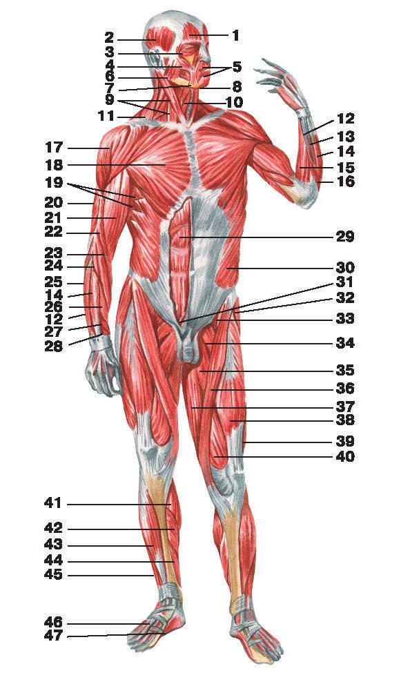 Рис.90. Мышцы человека (вид спереди):1 — лобное брюшко затылочно-лобной мышцы; 2 — височная мышца; 3 — круговая мышца глаза;4 — большая скуловая мышца; 5 — круговая мышца рта; 6 — жевательная мышца; 7 — мышца, опускающая угол рта;8 — подбородочная мышца; 9 — грудино-ключично-сосцевидная мышца; 10 — грудино-подъязычная мышца;11 — трапециевидная мышца; 12 — локтевой разгибатель запястья; 13 — разгибатель мизинца; 14 — разгибатель пальцев;15 — локтевой сгибатель запястья; 16 — локтевая мышца; 17 — дельтовидная мышца; 18 — большая грудная мышца;19 — передняя зубчатая мышца; 20 — трехглавая мышца плеча; 21 — двуглавая мышца плеча; 22 — плечевая мышца;23 — плечелучевая мышца; 24 — длинный лучевой разгибатель запястья; 25 — лучевой сгибатель кисти; 26 — короткий лучевой разгибатель запястья; 27 — длинная мышца, отводящая большой палец кисти;28 — короткий разгибатель большого пальца кисти; 29 — прямая мышца живота; 30 — наружная косая мышца живота;31 — пирамидальная мышца живота; 32 — мышца, натягивающая широкую фасцию бедра; 33 — подвздошно-поясничная мышца;34 — гребешковая мышца; 35 — длинная приводящая мышца; 36 — портняжная мышца; 37 — тонкая мышца;38 — самая длинная прямая мышца бедра; 39 — латеральная широкая мышца бедра; 40 — медиальная широкая мышца бедра;41 — икроножная мышца; 42 — камбаловидная мышца; 43 — передняя большеберцоваямышца; 44 — длинный разгибатель пальцев;45 — длинный сгибатель пальцев; 46 — сухожилие длинного разгибателя пальцев; 47 — мышца, приводящая большой