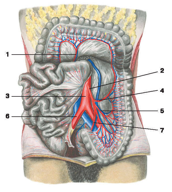 Рис.225. Артерии толстой кишки:1 — средняя ободочно-кишечная артерия; 2 — нижняя брыжеечная артерия; 3 — брюшная аорта; 4 — левая ободочно-кишечная артерия;5 — сигмовидно-кишечная артерия; 6 — общая подвздошная артерия; 7 — верхняя прямокишечная артерия
